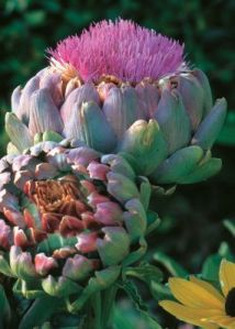 Our featured veggie of the week is an artichoke! These biennial veggies are prickly member of the thistle family. The edible portion of the plant consists of the flower buds before the flowers come into bloom. They are great steamed, roasted or pickled!
