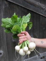 Salad turnips are not your average turnip. Sweet and crunchy, they are absolutely delicious to eat raw, roasted or cooked.