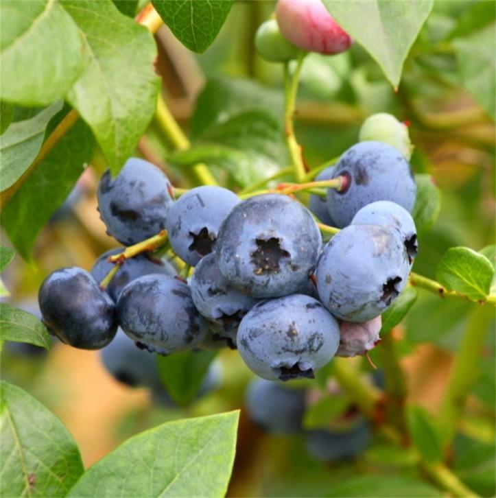 new-blueberry